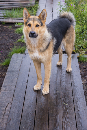German shepherd on the wooden bridge Stock Photo