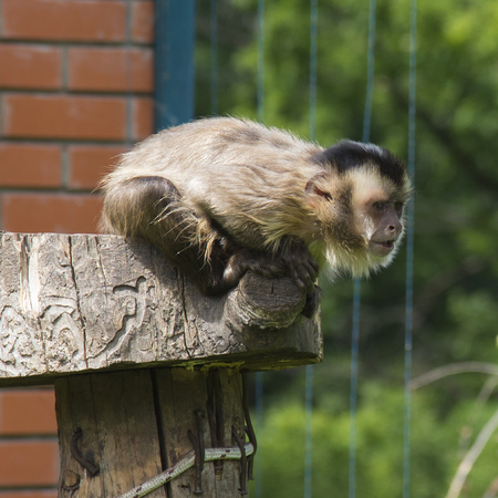 Black striped capuchin Stock Photo