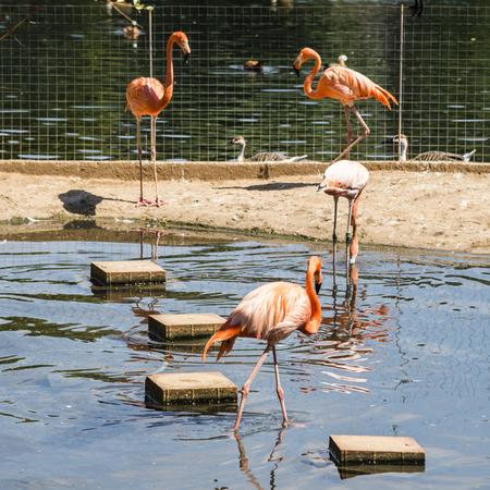Bird flamingo in Moscow Zoo Stock Photo
