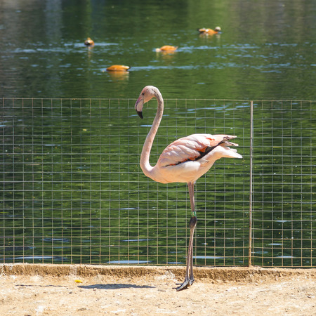Flamingo from the Moscow Zoo