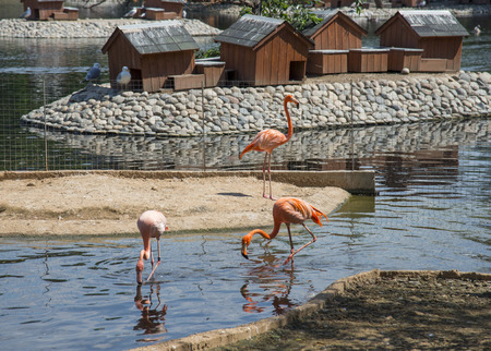 Pink Flamingo from the Moscow Zoo