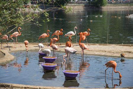 Feeding of pink flamingos, Moscow Zoo