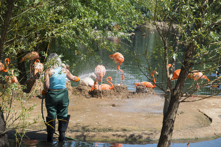 MOSCOW, RUSSIA - JUNE 26, 2016: Pink flamingo from the Moscow Zoo Editorial