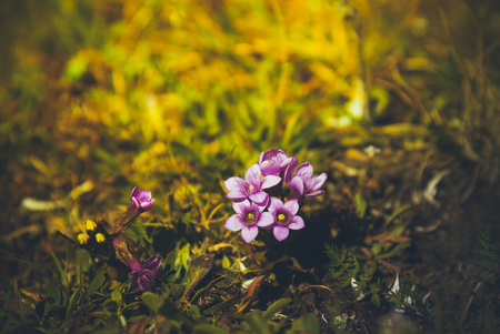 Gentianella campestris의 꽃의 근접 촬영