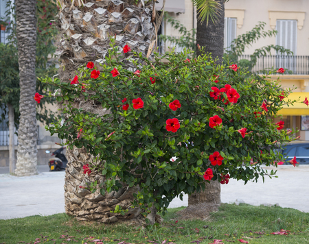 Blossoming red hibiscus on the streets of Sitges