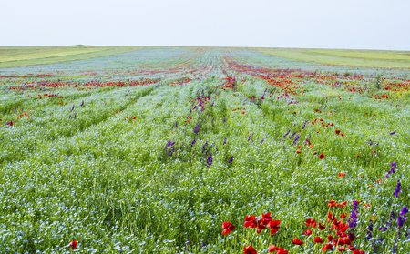 The field of the blossoming flax