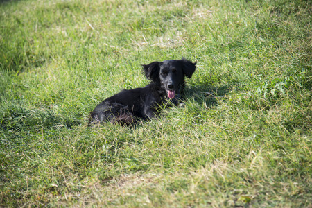 Black dog lying on green grass on a summer day
