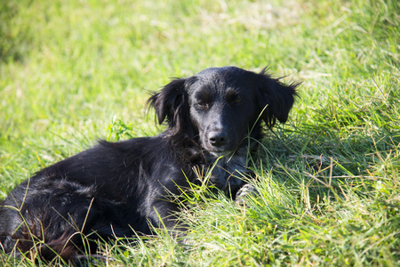 Black dog lying on green grass on a summer day 免版税图像 - 111399196