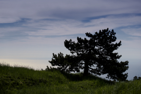 Pine on the slope of the Crimean mountains. Ai-Petri, Crimea