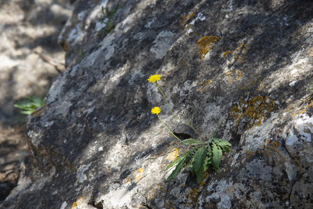 Yellow flowers on the rocks, the Crimean peninsula