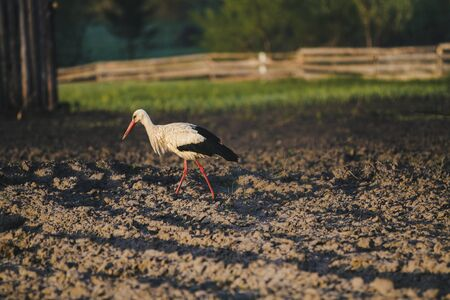 European white stork on the field, early morning in the summer