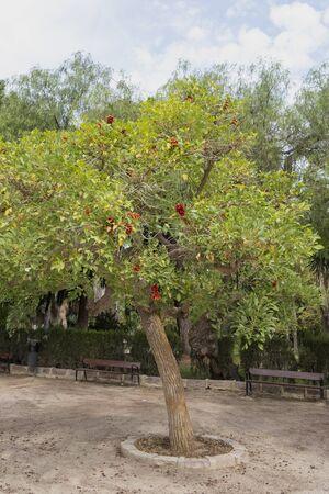 Erythrina crista-galli tree in the park, Valencia