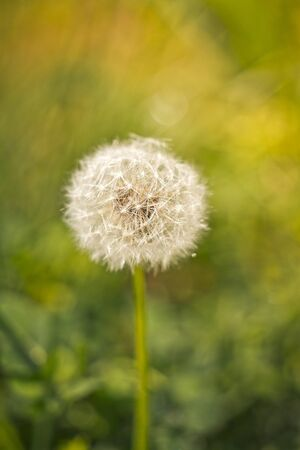 Closeup of dandelion on natural green background. Space for text