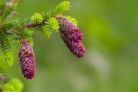 Young fir cones on tree branches, spring time. Selective focus, space for text Standard-Bild