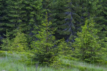 Beautiful forest in summer, Carpathian mountains