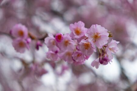 Flowering cherry trees in the Prague city garden. Petrin Hill, Czech Republic Reklamní fotografie