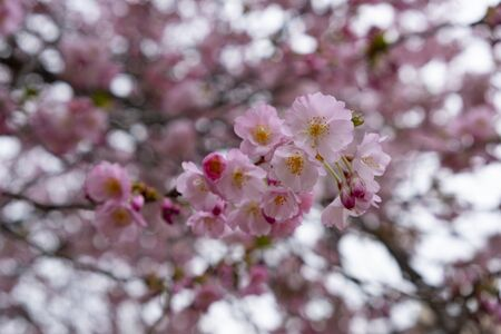 Cherry blossoms in the city garden, selective focus. Prague, Petrin Hill, Czech republic