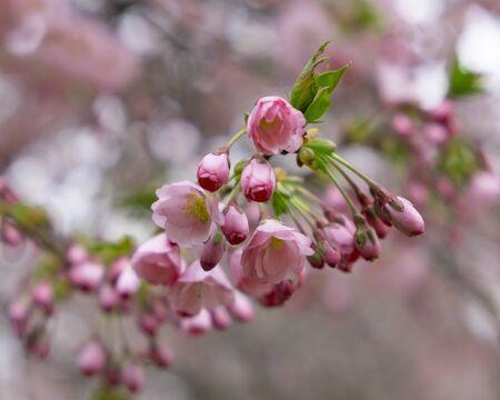 Flowering cherry trees in the Prague city garden. Petrin Hill, Czech Republic