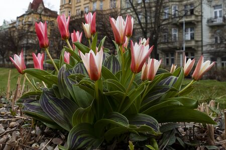 Beautiful spring tulips in the Prague city