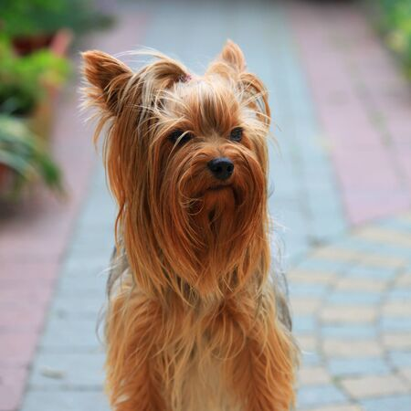 Yorkshire Terrier outdoor near the house
