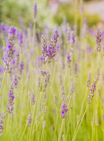 Lavender blooming in a summer time, selective focus