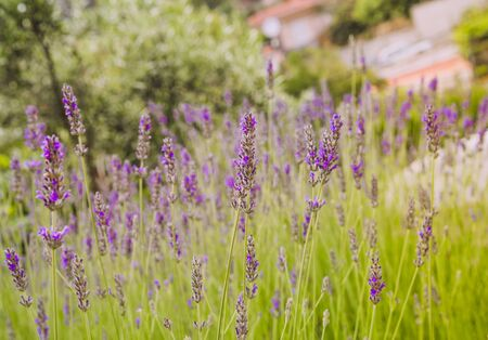 Lavender blooming in the garden, selective focus