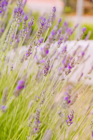 Lavender blooming in the garden, selective focus Imagens