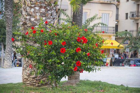 Beautiful red hibiscus flowers on the street, Sites in Spain Zdjęcie Seryjne