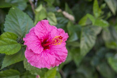 Beautiful pink hibiscus flower in the garden  Zdjęcie Seryjne