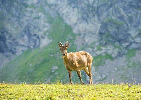 The West Caucasian tur (Capra caucasica) in the mountains