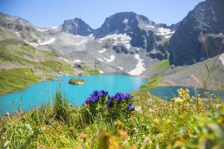 Alpine bellflower, sunny day at summer in Caucasus mountains, Karachay-Cherkess Republic