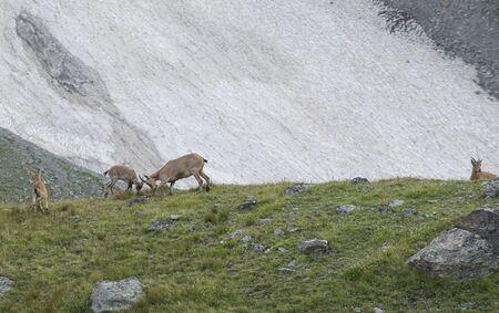 Caucasian mountain goats in their natural habitat. The West Caucasian tur (Capra caucasica) Stock Photo