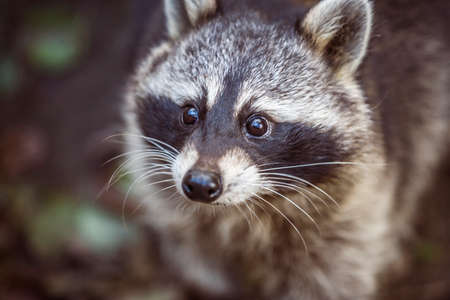 Close up portrait of raccoon. Procyon lotor in nature