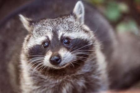 Close up portrait of raccoon. Procyon lotor in nature Standard-Bild