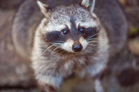 Close up portrait of raccoon. Procyon lotor in nature Stock Photo
