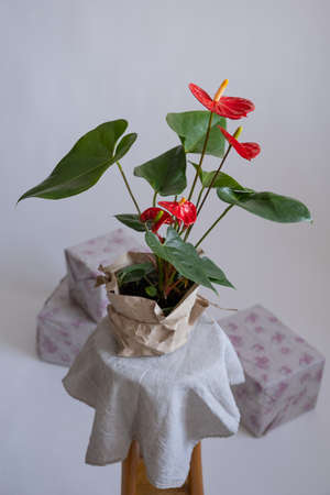 Anthurium in the flowerpot. Anthurium is heart - shaped flower