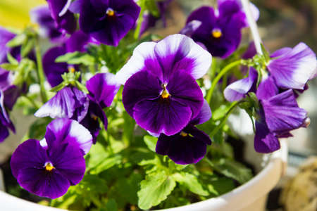 Viola plant in the flower pot, home garden, close up Stock Photo