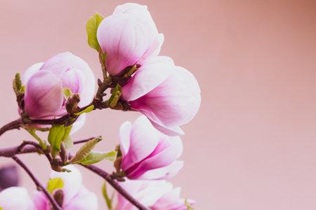 Blooming magnolia tree in spring 版權商用圖片