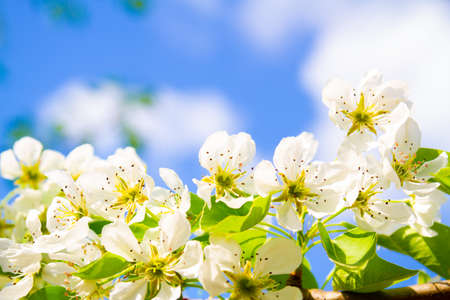 Blooming cherry on a background of blue sky 版權商用圖片