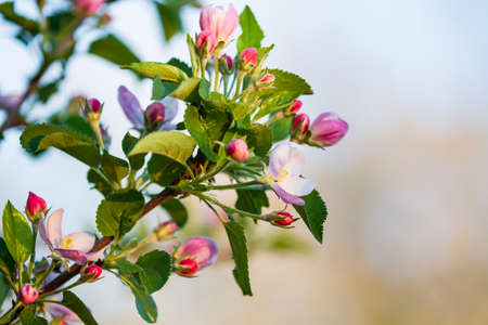 Blooming apple on a background of blue sky, spring time 版權商用圖片