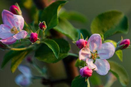 Apple tree bloosom on a background, spring time 版權商用圖片