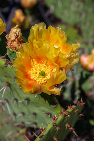 Blooming cactus. Large yellow flowers close up