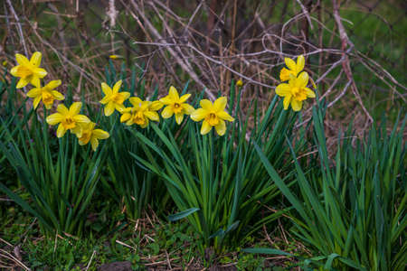 Blooming daffodils in the home garden