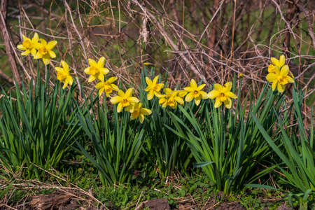 Blooming daffodils in the home garden, spring time