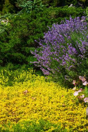 Lavender flower blooming in summer garden
