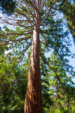 Tree branches Sequoia sempervirens close up