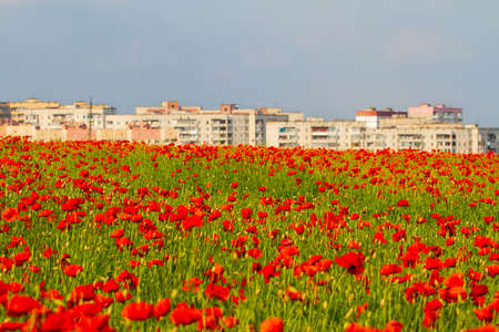 Panorama of the poppy field against the background of the city