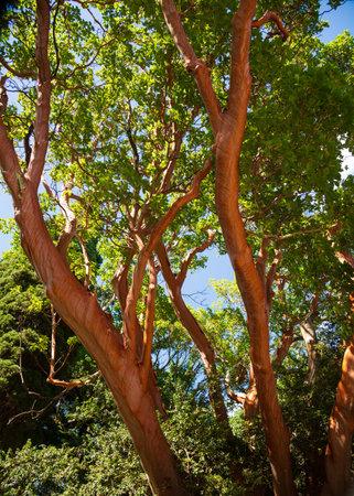 Strawberry tree - evergreen tree with rich orange-red bark