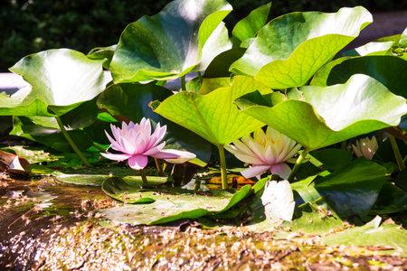 Beautiful lotus flowers bloom on the water 版權商用圖片