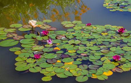 Beautiful lotus flowers bloom in the pond 版權商用圖片